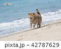 ビーチを走る柴犬 42787629