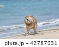 海から出る柴犬 42787631