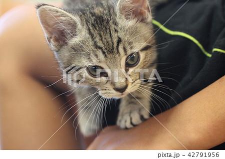 マンチカンの子猫 42791956