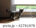 マンチカンの子猫 42791976