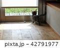 マンチカンの子猫 42791977