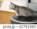 マンチカンの子猫 42791983
