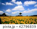 真夏のヒマワリ畑 42796839