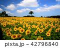 真夏のヒマワリ畑 42796840