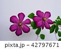 テッセン 植物 花の写真 42797671