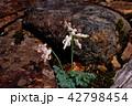 コマクサ 白馬五竜 42798454