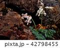 コマクサ 白馬五竜 42798455