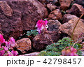 コマクサ 白馬五竜 42798457