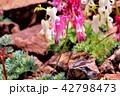 コマクサ 白馬五竜 42798473