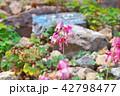 コマクサ 白馬五竜 42798477