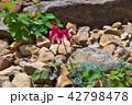 コマクサ 白馬五竜 42798478