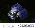 アジサイ 紫陽花 花の写真 42803033