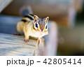 動物 シマリス リスの写真 42805414