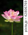 蓮 ピンク 花の写真 42806769
