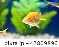 金魚 魚 淡水魚の写真 42809896