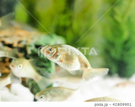 金魚の幼魚 42809901