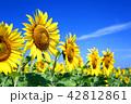 北海道 北竜町 ひまわりの里 満開のひまわり畑 42812861