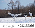 着陸するタンチョウ(北海道・鶴居) 42813366