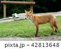 狐 キタキツネ 動物の写真 42813648