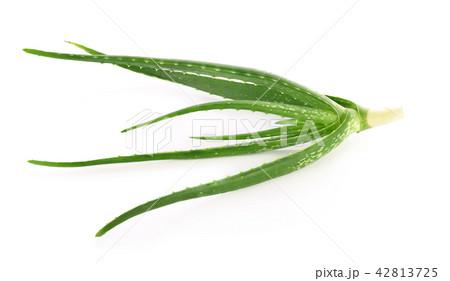 aloe vera fresh leaf isolated white background 42813725