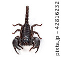 Scorpion of a white background. 42816232