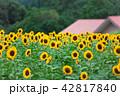 向日葵 夏 鹿児島市の写真 42817840