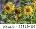 黄色い 黄 黄色の写真 42819484