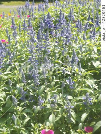 青色の花はブルーサルビアの花 42820461