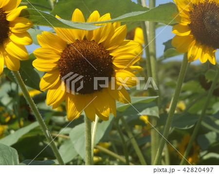夏の花といえば黄色いヒマワリ 42820497