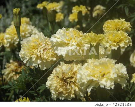 黄色い花のマリーゴールド 42821238