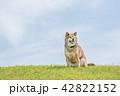 柴犬 青空 緑の芝生 42822152