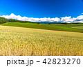 美瑛の丘 麦 麦畑の写真 42823270