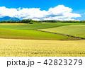 美瑛の丘 麦 麦畑の写真 42823279