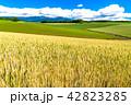 美瑛の丘 麦 麦畑の写真 42823285