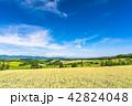美瑛の丘 麦畑 夏の写真 42824048