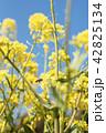 春 菜の花 花の写真 42825134