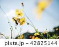 コスモス 花 蝶の写真 42825144