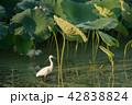 野鳥 ハス田 サギの写真 42838824