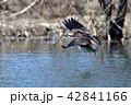 ミサゴの狩り 42841166