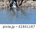 ミサゴの狩り 42841167