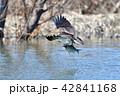 ミサゴの狩り 42841168