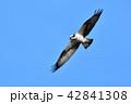 飛ぶミサゴ 42841308