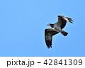 飛ぶミサゴ 42841309