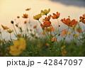 コスモス 花 秋桜の写真 42847097