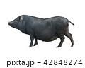 ぶた ブタ 豚の写真 42848274