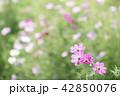 コスモス 秋桜 ピンク色の写真 42850076