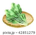 小松菜 野菜 葉物野菜のイラスト 42851279