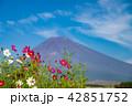 コスモスの花と富士山 42851752