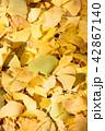 紅葉 秋 銀杏の写真 42867140