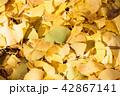 紅葉 秋 銀杏の写真 42867141